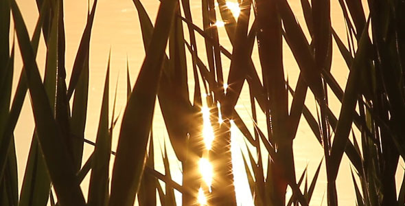Close-Up Shot Of A reed On The River