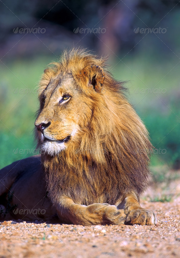 Young lion - Stock Photo - Images