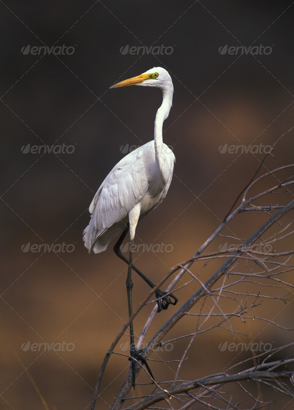 Great white egret - Stock Photo - Images