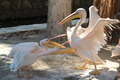 Playing Pelicans - PhotoDune Item for Sale