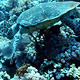 Hawksbill Turtle - VideoHive Item for Sale