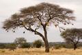 Nest philetairus bird - PhotoDune Item for Sale