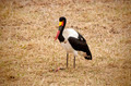 Saddle Billed Stork - PhotoDune Item for Sale