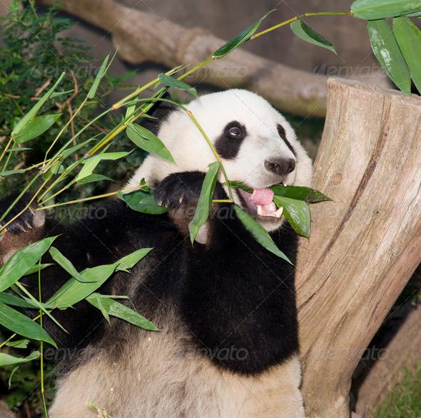 Panda Bear Eats Bamboo Leaf Lunch Animal Wildlife - Stock Photo - Images