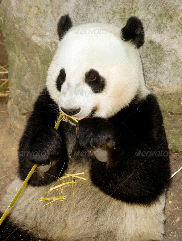 Panda Bear Eats Bemboo Shoot Lunch Animal Wildlife - Stock Photo - Images