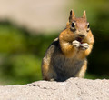 Wild Chipmunk Wildlife Animal Ground Squirel - PhotoDune Item for Sale