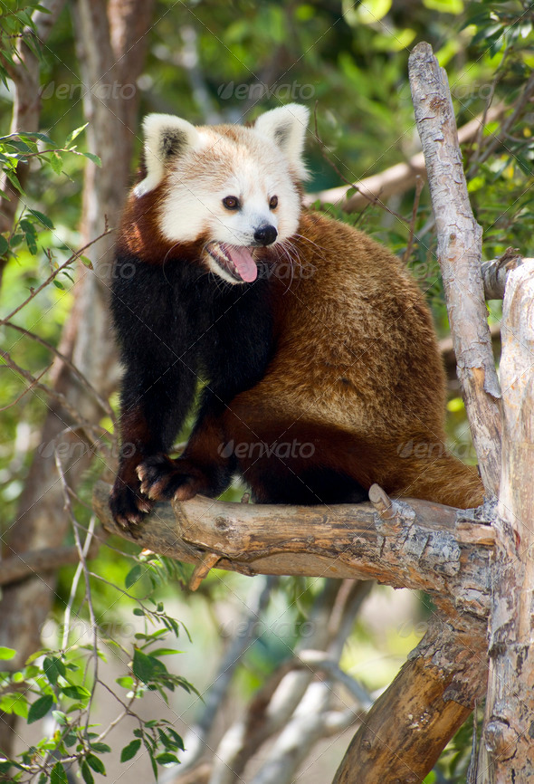 Red Panda Tree Outdoor Animal Wildlife - Stock Photo - Images