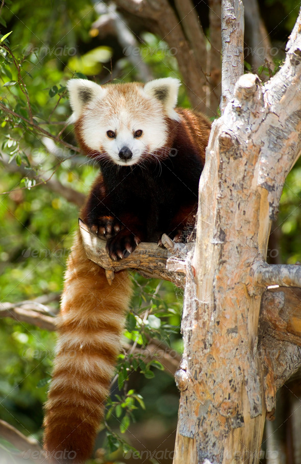 Red Panda Tree Climbing Looking at Camera - Stock Photo - Images