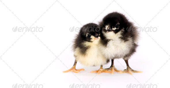 Australorp Baby Chicken Couple Twins - Stock Photo - Images
