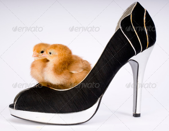 Baby Chickens Two Chicks in a Shoe - Stock Photo - Images