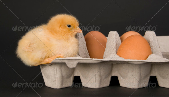 Rhode Island Red Chick on Egg Carton - Stock Photo - Images