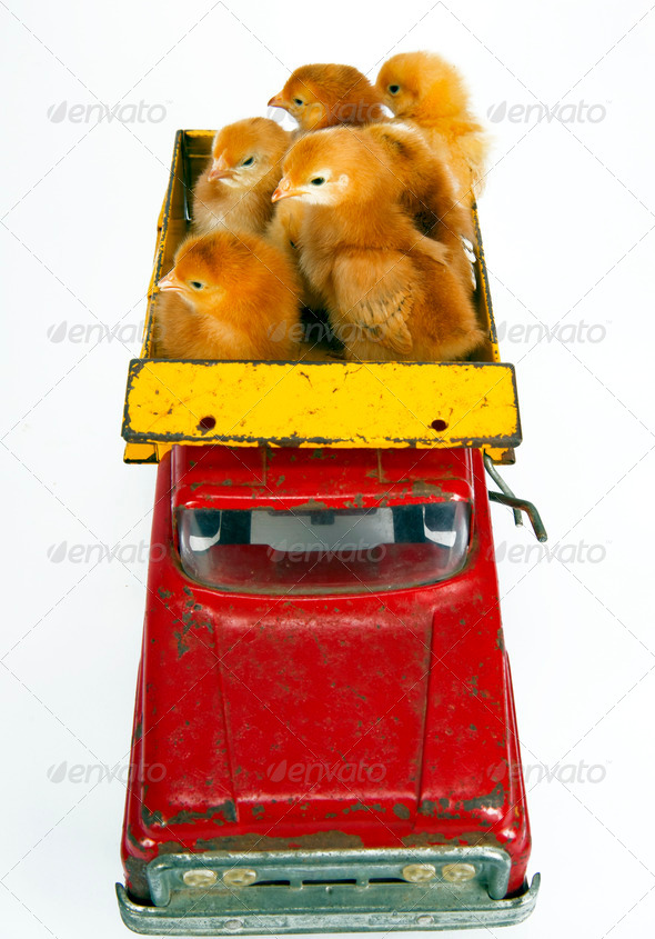 Trucking Chickens Baby Chicks in Toy Dump Truck - Stock Photo - Images