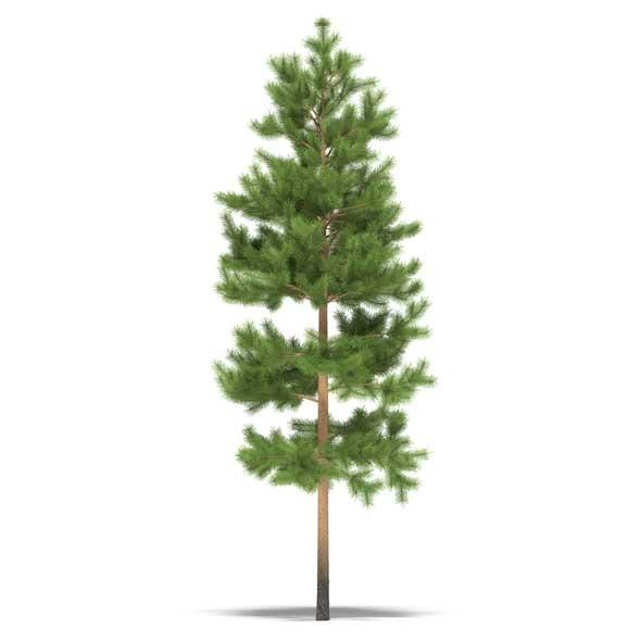3DOcean Pine 3525023