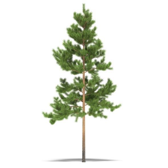 3DOcean Pine 3525309