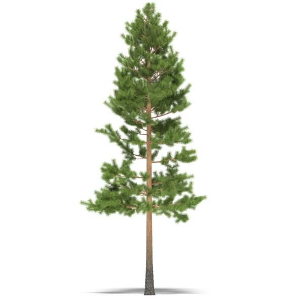 3DOcean Pine 3525940