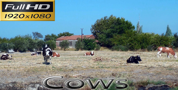 Cows Nature Full HD