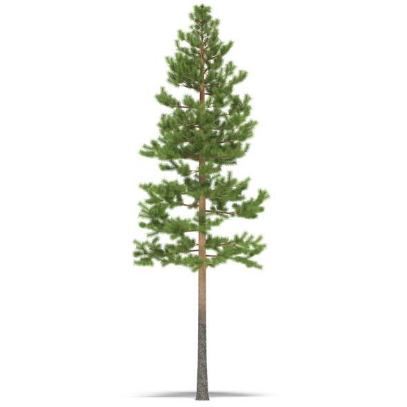 3DOcean Pine 3528014