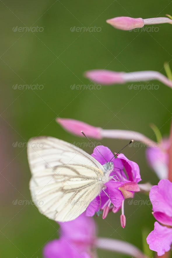 Butterfly on pink plant - Stock Photo - Images