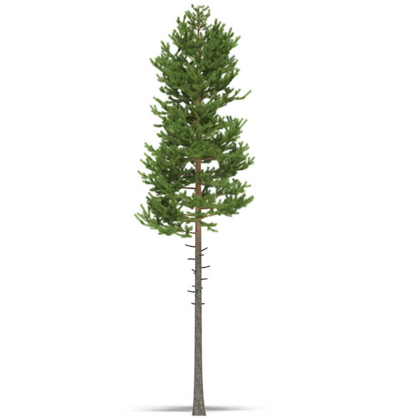 3DOcean Pine 3533652