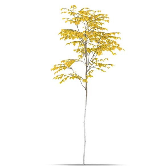 3DOcean Birch 3543904