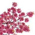 isolated Spring cherry blossoms on white background - PhotoDune Item for Sale