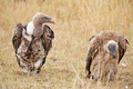 White backed vulture - PhotoDune Item for Sale