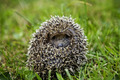 Hedgehog sitting on grass - PhotoDune Item for Sale