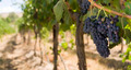 Grapes on the Vine - PhotoDune Item for Sale