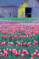 Tulip Farm - PhotoDune Item for Sale