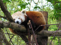 Red Panda Sleeping - PhotoDune Item for Sale