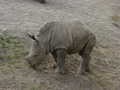 Baby Rhinoceros - PhotoDune Item for Sale