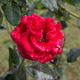 Beautiful red rose with drops of water - PhotoDune Item for Sale