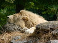 Sleeping Lion 1 - PhotoDune Item for Sale