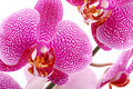 Pink orchid. - PhotoDune Item for Sale