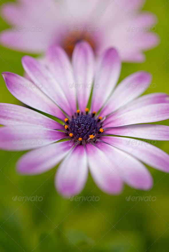 African Daisy Flower - Stock Photo - Images