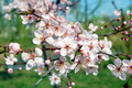 Flowering Branches - PhotoDune Item for Sale