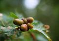 Nuts on tree - PhotoDune Item for Sale