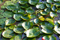 Water lilies - PhotoDune Item for Sale