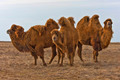 Bactrian Camel - PhotoDune Item for Sale