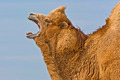 Bactrian Camel Roaring - PhotoDune Item for Sale
