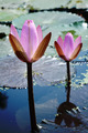 Pink Waterlily - PhotoDune Item for Sale