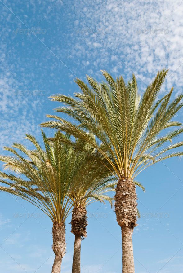 Palm Trees - Stock Photo - Images