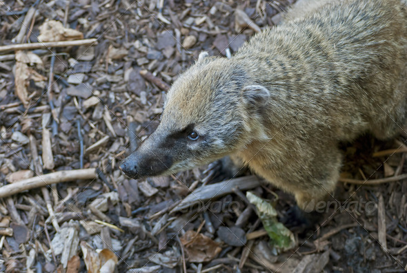 South American Coati - Stock Photo - Images