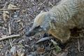 South American Coati - PhotoDune Item for Sale