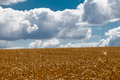 corn field - PhotoDune Item for Sale