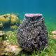 Giant barrel sponge Xestospongia muta - PhotoDune Item for Sale
