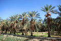An oasis of date palms - PhotoDune Item for Sale