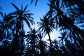 Silhouette of dates palm forest - PhotoDune Item for Sale