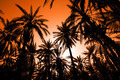 Sunset in dates palm forest - PhotoDune Item for Sale