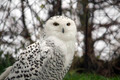 Snow Owl - PhotoDune Item for Sale